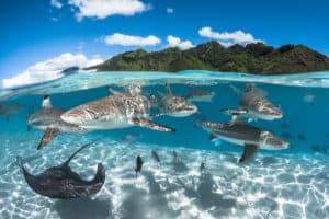Baignade-requins-pointes-noires-et-raies-©-Grégory-Lecoeur