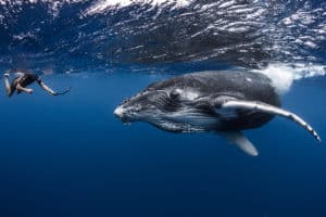 Plongee-avec-les-baleines-©-Gregory-Lecoeur
